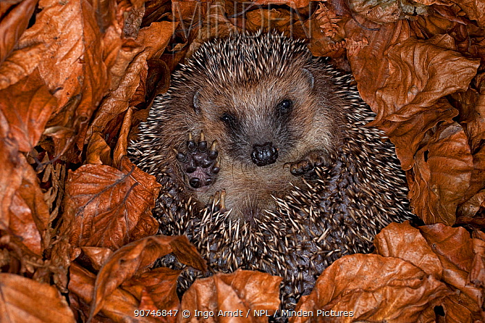 Hedgehog (Erinaceus europaeus) hibernating hidden in leaves, Germany, captive.