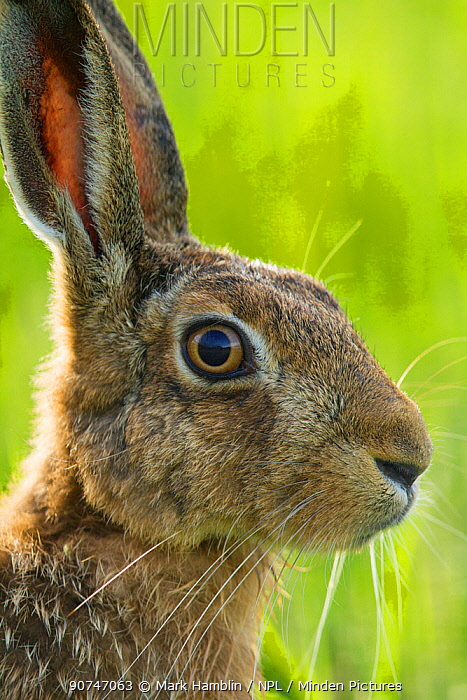 Brown hare (Lepus europaeus) adult in arable field, Scotland, August.