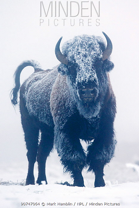 North American Bison (Bison bison) coated in frost standing on snow, Yellowstone National Park, Wyoming, USA, January.