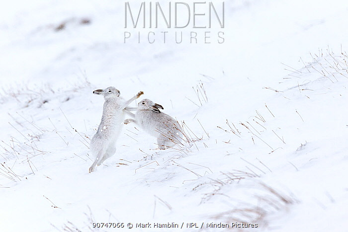 Mountain hare (Lepus timidus) two animals boxing on snowy hillside , Scotland, UK. February.
