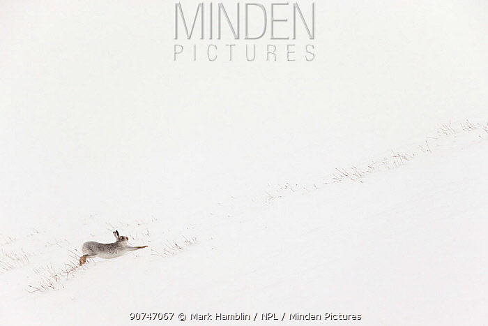 Mountain Hare (Lepus timidus) in white winter coat stretching - in snowy habitat, Scotland. Highly Commended in GDT European Photographer of the Year 2015.