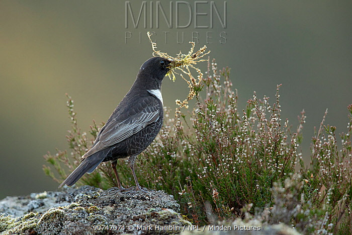 Ring ouzel (Turdus torquatus) male carrying nest material perched on rock , Scotland, UK. May.
