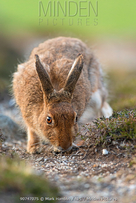 Mountain hare (Lepus timidus) adult male picking up scent of female on moorland track , Scotland, UK. May.