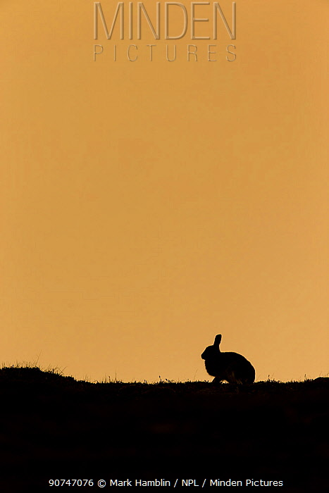 Mountain hare (Lepus timidus) silhouetted at sunrise , Scotland, UK. May.