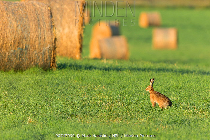 Brown hare (Lepus europaeus) in field of grass with bales of straw in background , Scotland, UK. July.