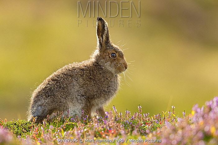 Mountain hare (Lepus timidus) leveret on heather moorland , Scotland, UK, August.