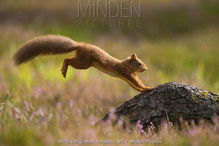 Red Squirrel (Sciurus vulgaris) in summer coat landing on fallen log amingst heather , Scotland, UK. September.
