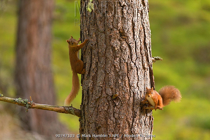 Red Squirrel (Sciurus vulgaris) two animals on pine trunk , Scotland, UK. September.