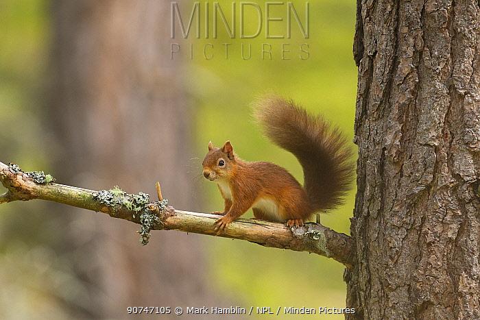 Red Squirrel (Sciurus vulgaris) on pine branch in forest , Scotland, UK. September.
