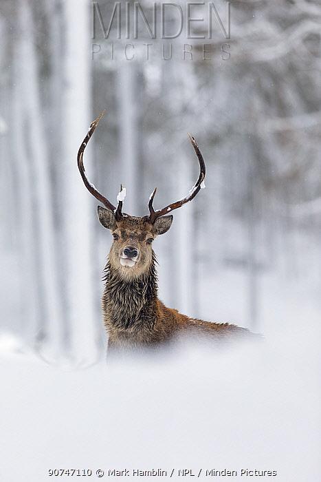 Red Deer stag (Cervus elaphus) in snow-covered pine forest, Cairngorms National Park, Scotland, UK. December.