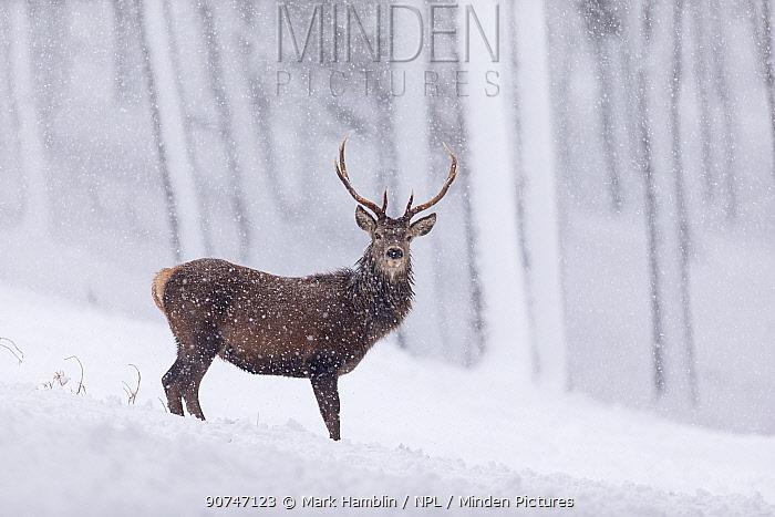 Red Deer stag (Cervus elaphus) stood in pine forest in falling snow , Cairngorms National Park, Scotland, UK. December.