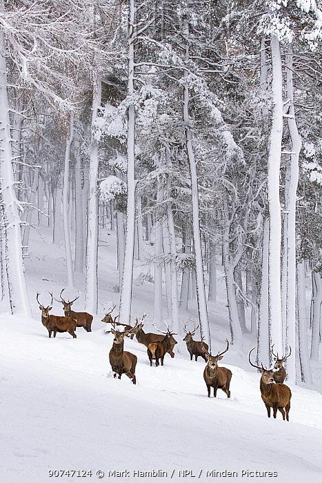Red Deer (Cervus elaphus) herd in forest in snow , Cairngorms National Park, Scotland, UK. December.