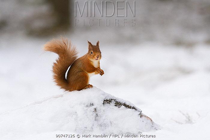 Red squirrel (Sciurus vulgaris) stood on log in snow , Cairngorms National Park, Scotland, UK. December.