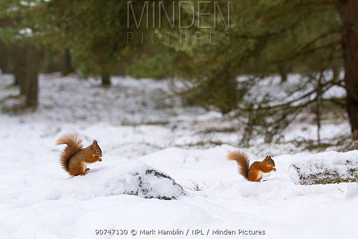 Red Squirrel (Sciurus vulgaris) two in pine woodland habitat in snow , Scotland, UK. December.