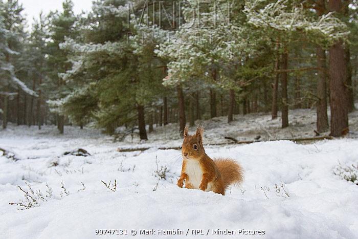 Red Squirrel (Sciurus vulgaris) in woodland habitat in snow, Scotland, UK, December.