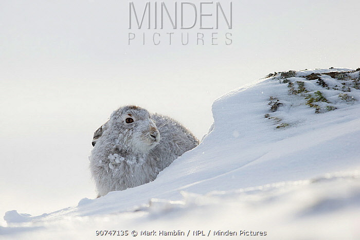 Mountain Hare (Lepus timidus) in white winter coat resting in snow, Scotland