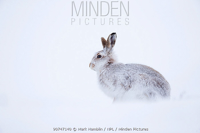 Mountain hare (Lepus timidus) sat in snow,  Scotland, UK, January.