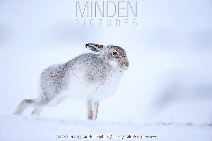 Mountain hare (Lepus timidus) stretching, standing on snow, Scotland, UK, January.