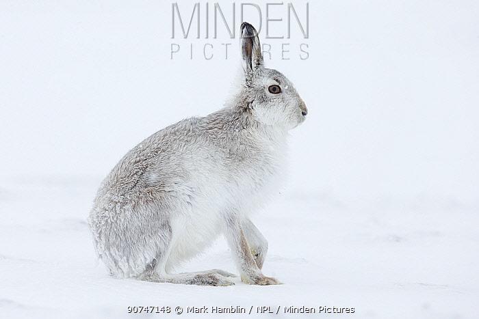 Mountain hare (Lepus timidus) adult sat on snow, Scotland, UK, February.