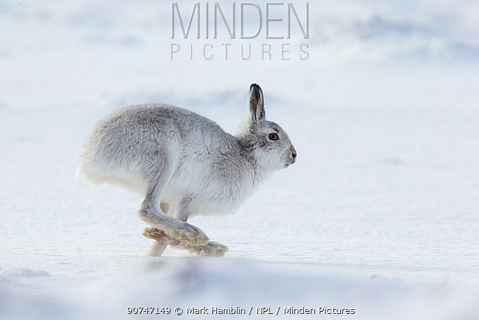 Mountain Hare (Lepus timidus) adult running across snow, Scotland, UK, February.