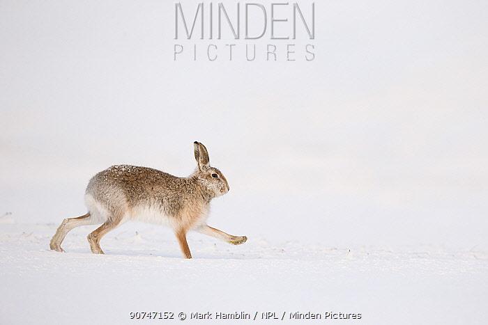 Mountain Hare (Lepus timidus) hybrid  with Brown hare (Lepus europaeus) running across snow, Scotland, UK, February.