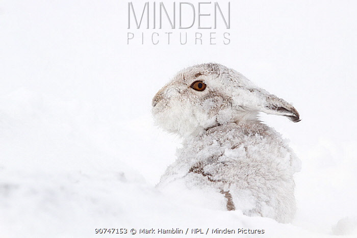 Mountain Hare (Lepus timidus) covered in snow, Scotland, UK, February.