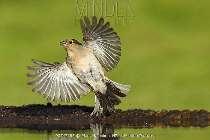 Chaffinch (Fringilla coelebs) female taking flight from garden pond, Scotland, UK, May.