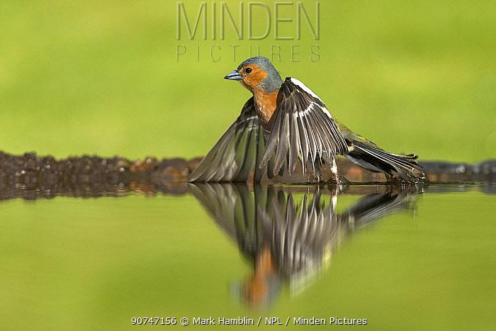 Chaffinch (Fringilla coelebs) male taking flight from garden pond, Scotland, UK, May.