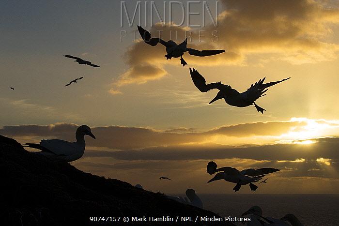 Northern gannets (Morus bassanus) silhouetted in flight at sunset, Moray coast, Scotland, UK, May.