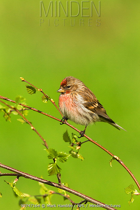 Redpoll (Carduelis flammea) male perched on birch in spring, Scotland, UK, May.