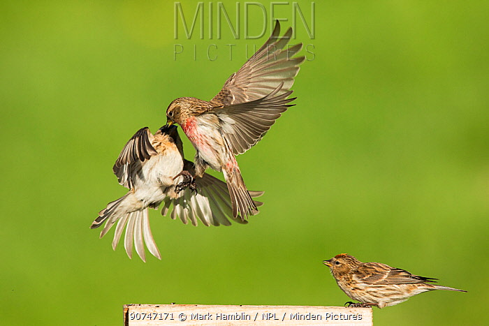 Redpoll (Carduelis flammea) two fighting over food in mid-air, Scotland, UK, May.
