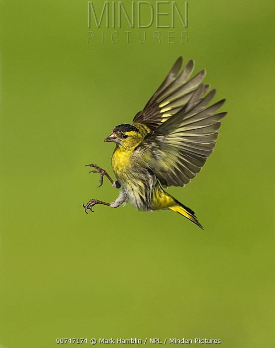Siskin (Carduelis spinus) male in flight preparing to land, Scotland, UK, May.