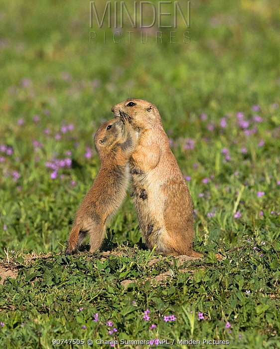 Black-tailed prairie dog (Cynomys ludovicianus) youngster  with an adult, Parker, Colorado, USA, May.