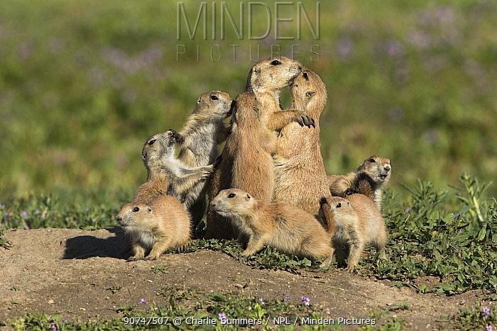 Western black-tailed prairie dog (Cynomys ludovicianus) youngsters crowd around nursing mother. Colorado, USA, May.