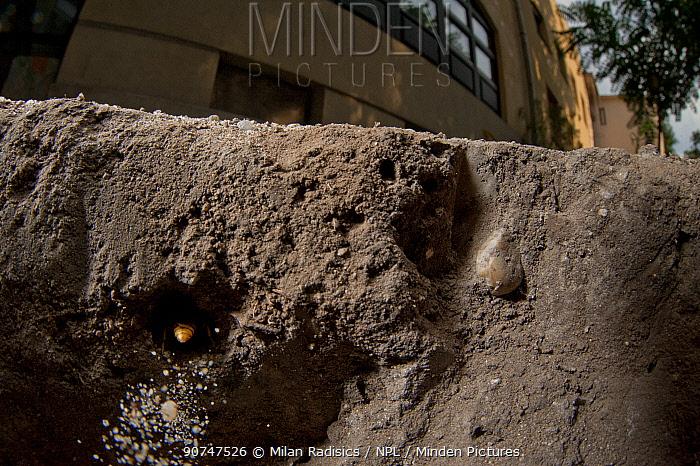 European beewolf (Philanthus triangulum) hiding in hole, Budapest, Hungary