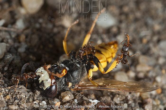 Ants scavenging dead European beewolf (Philanthus triangulum) Budapest, Hungary.