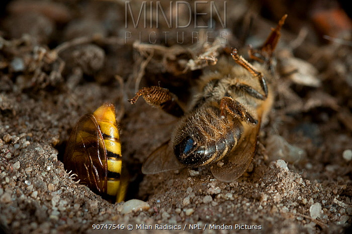 European beewolf (Philanthus triangulum) digging nest, with paralysed bee prey lying nearby Budapest, Hungary