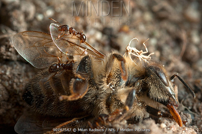 Ants scavenging dead bee, discarded by European beewolf (Philanthus triangulum) Budapest, Hungary.