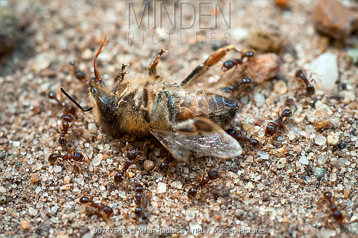 European beewolf (Philanthus triangulum) dead - with scavenging ants, Budapest, Hungary