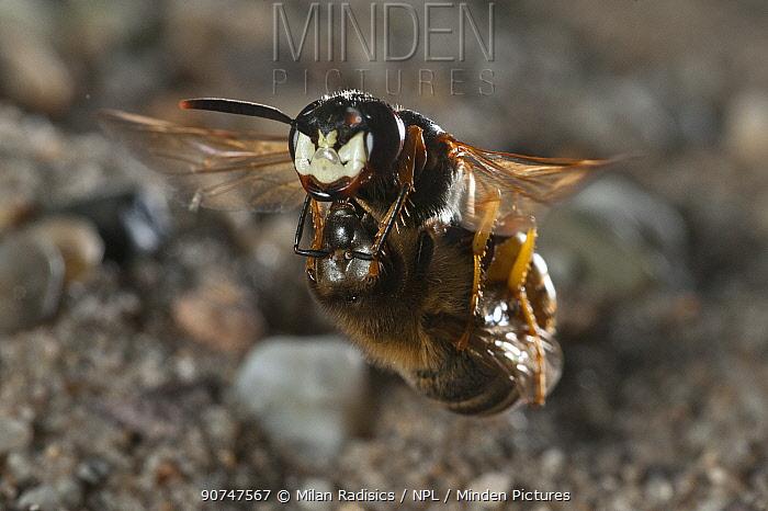 European beewolf (Philanthus triangulum) in flight, carrying bee prey to nest hole, Budapest, Hungary