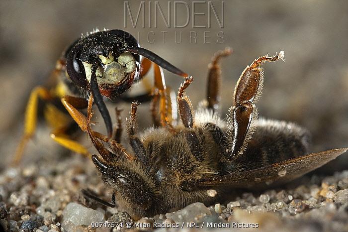 European beewolf (Philanthus triangulum) dragging bee prey to nest hole, Budapest, Hungary