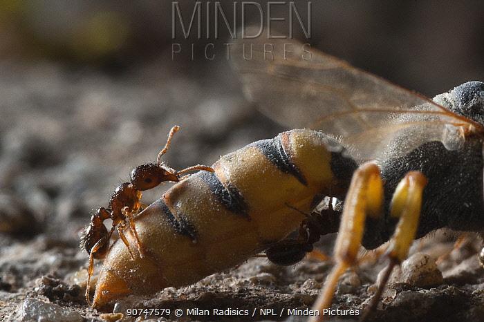Ants scavenging dead Beewolf (Philanthus triangulum) Budapest, Hungary, July.