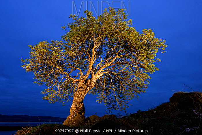 Rowan, painted with torch light, Mull, Scotland