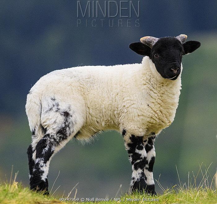 Blackface sheep lamb, Mull, Scotland