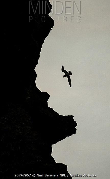 Fulmar (Fulmarus glacialis) in flight near cliff, Londrangar, Iceland