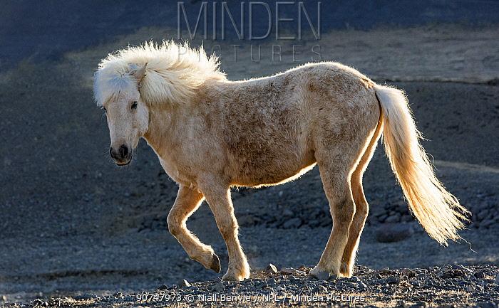 Icelandic horse, Snaefellness, Iceland.
