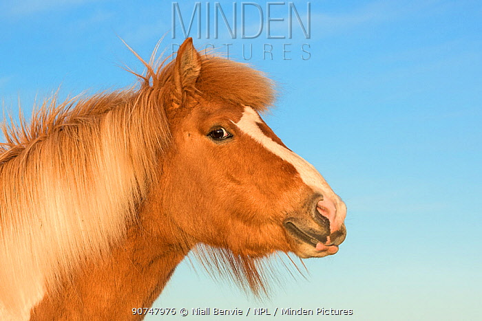 Icelandic horse head and neck portrait, Iceland