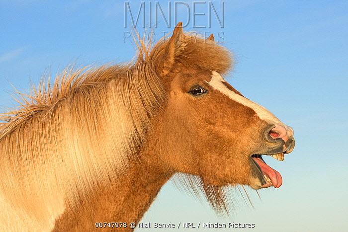 Icelandic horse yawning, mouth open, Iceland