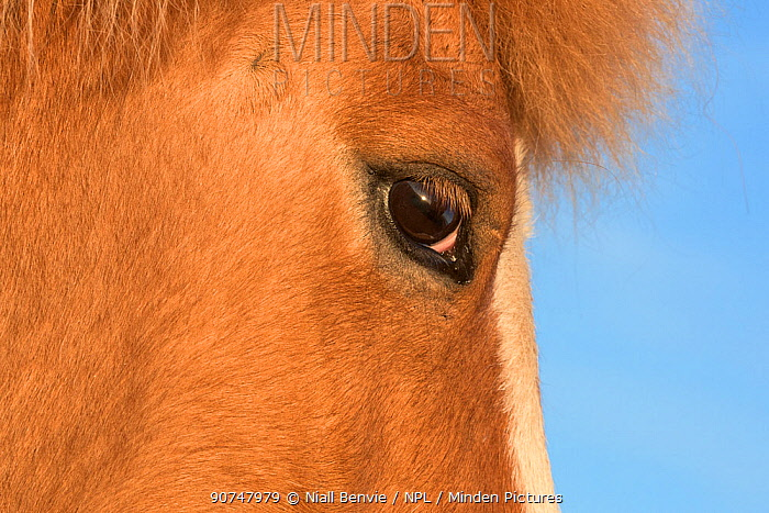 Icelandic horse head and eye detail, Iceland