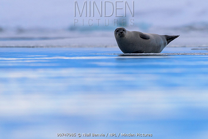 Common seal (Phoca vitulina) hauled out on ice, Iceland, March.